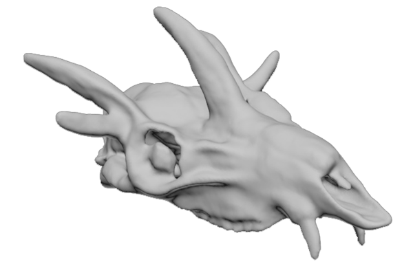 Cranio di Hoplytomeryx